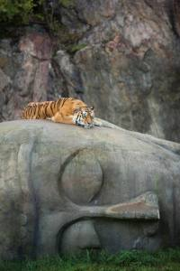 Tiger on Buddha Head -- from Viral Thread